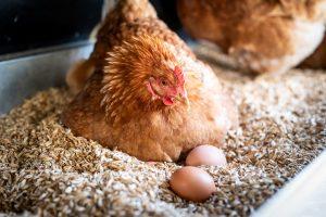Huhn mit Eiern vomeichhof.ch