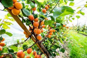 Aprikosen im Folientunnel in Egliswil