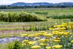 Schnittblumenfeld Egliswil in voller Blüte
