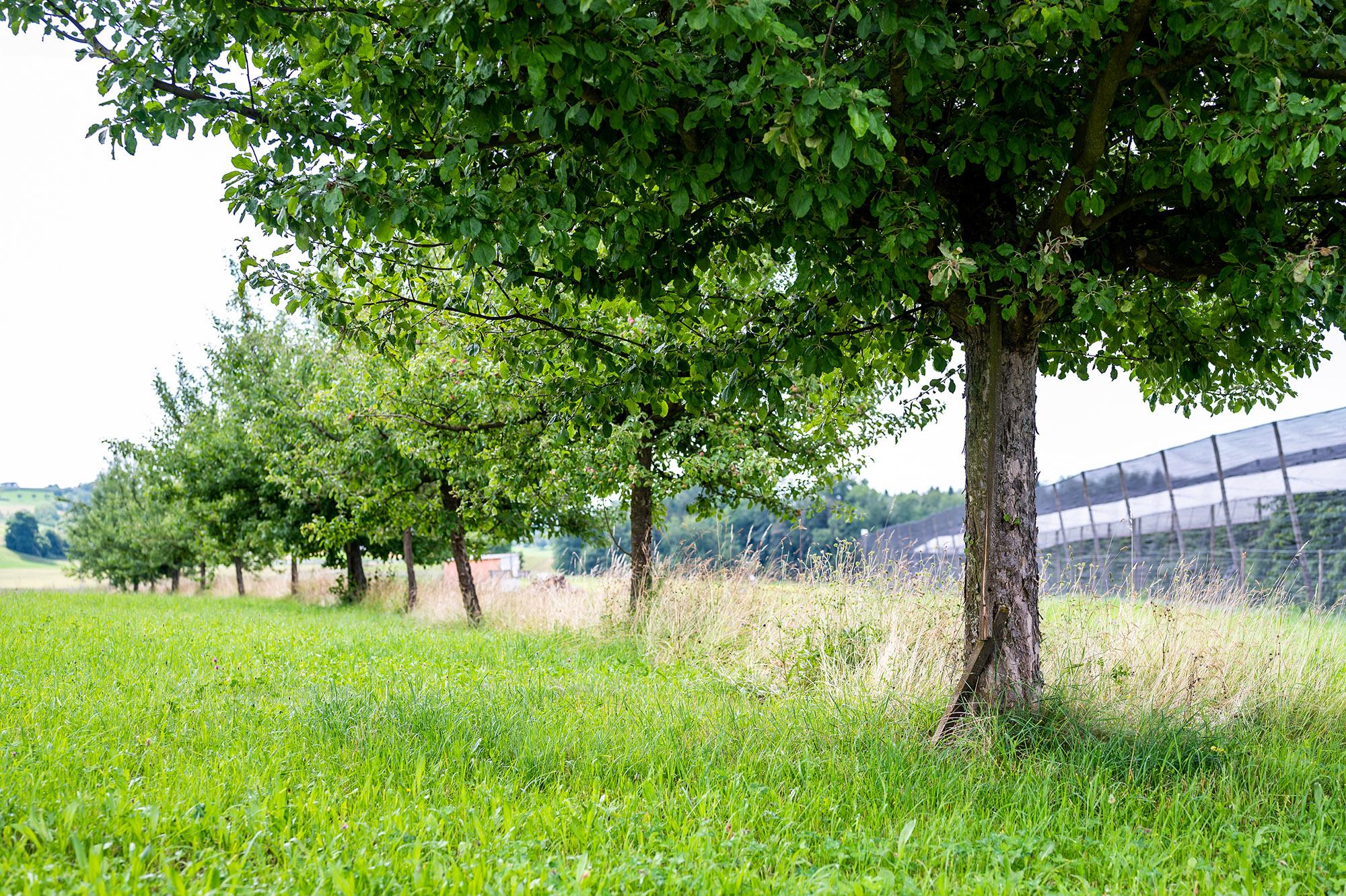 Hochstammbäume ausserhalb der Kirschenanlage