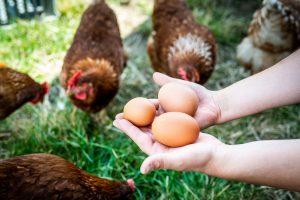 Eier von Freilandhühnern